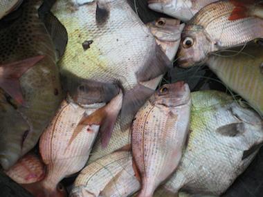 Pile of fish on Lakka Beach resort